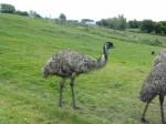 Graune Pet Farm ostrich.