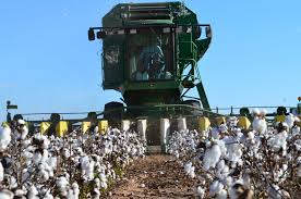 Harvesting the cotton.